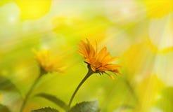 Flowers yellow rudbeckia Royalty Free Stock Photo