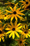 Flowers of yellow Rudbeckia. Royalty Free Stock Photos