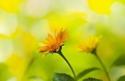 Flowers yellow rudbeckia Royalty Free Stock Photos