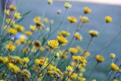 Freshness. Flowers yellow skyblue gardens greenfield plant growth nature beauty vulnerability stock photos