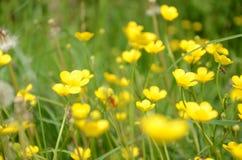 Flowers. Yellow flowers somewhere around Danube River Stock Image