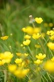 Flowers. Yellow flowers somewhere around Danube River Stock Photography