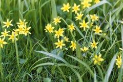 Flowers of Yellow Star of Bethlehem Gagea lutea Stock Photos