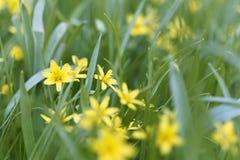 Flowers of Yellow Star of Bethlehem Gagea lutea Stock Image