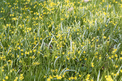 Flowers of Yellow Star of Bethlehem Gagea lutea Royalty Free Stock Photography