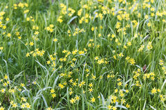 Flowers of Yellow Star of Bethlehem Gagea lutea Royalty Free Stock Images