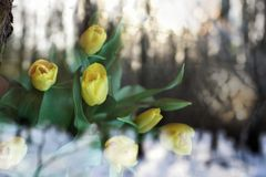 Flowers of yellow tulips in early spring Stock Images