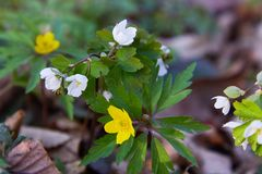 Flowers of yellow uncultivated anemone Anemona ranuculoides stock photography