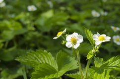 Flowers of a young spring strawberry on a background of green leaves under beams of the sun royalty free stock images