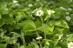 Flowers of a young spring strawberry on a background of green leaves under beams of the sun stock image
