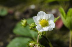 Flowers of a young spring strawberry on a background of green leaves under beams of the sun royalty free stock photo