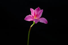 flowers zephyranthes Pink on black background A bright green sta Royalty Free Stock Photography