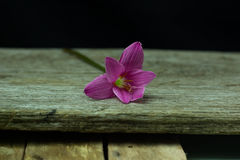 flowers zephyranthes Pink on black background A bright green sta Stock Photo