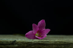 flowers zephyranthes Pink on black background A bright green sta Stock Photography