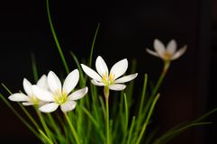 Flowers Zephyranthes white (Candida Herb) Royalty Free Stock Photos