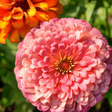 Flowers of zinnia in garden. Top view Royalty Free Stock Images