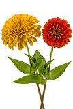 Flowers of zinnia (Lat. Zinnia) Royalty Free Stock Image