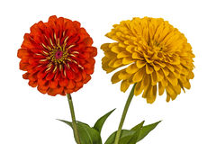 Flowers of zinnia (Lat. Zinnia) Royalty Free Stock Images