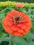Flowers. Zinnia red garden at Kanchanaburi Thailand Royalty Free Stock Photography