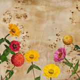 Flowers Zinnia and root of a poplar Royalty Free Stock Images