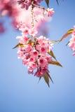FlowerSakura Photos stock