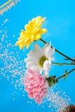 Flowersbeautiful krysantemum i moders dag Arkivfoto