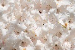 Flowersclose-up blanco del rododendro Fotos de archivo