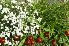Flowerses blancos en el fondo de la hierba verde Fotografía de archivo
