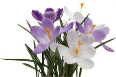 flowerses del azafrán del resorte Foto de archivo libre de regalías