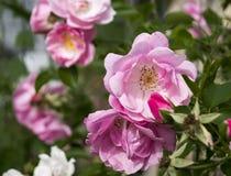 Flowerses di Rosa in giardino Fotografia Stock Libera da Diritti