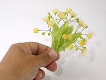 Flowerses of the lime in hand Royalty Free Stock Photography