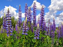 Flowerses lupines Royalty Free Stock Photography