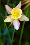 Flowerses, prodige lever-jaune Photo libre de droits