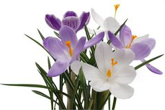 flowerses of the spring crocus Royalty Free Stock Photo