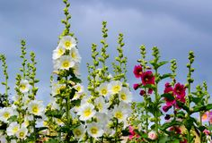 Flowerses of the steppes Royalty Free Stock Photo