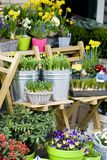 Flowershop in spring. With bulbs, narcissus and blue grapes Royalty Free Stock Photo