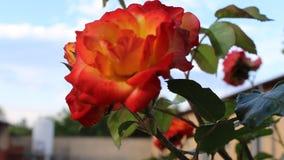 Flowersit rose. The flowers rose video was filmid in bulgaria jambol stock video