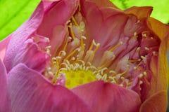 Flowerslotus rosado hermoso Imagenes de archivo
