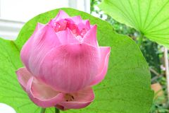 Flowerslotus rosado hermoso Fotos de archivo