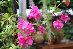 Flowersp rosado Fotografía de archivo libre de regalías