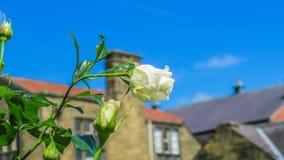 FlowersThe美丽的白色颜色玫瑰 免版税库存照片
