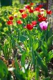 Flowert ulip. Flower summer sun herb green Stock Images