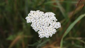 Flowertina. The flower was filmed in Bulgaria Yambol stock footage