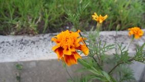 Flowertina foring. The flowers was filmed on a small farm near the town of Yambol stock footage
