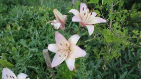 Flowertina lili. The flowers was filmed on a small farm near the town of Yambol stock video footage