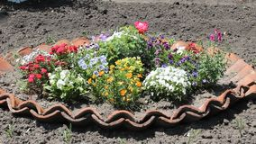 Flowertina many color. The flower was filmed in Bulgaria Yambol stock video footage