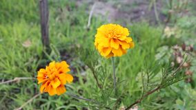 Flowertina set orange. The flowers was filmed on a small farm near the town of Yambol stock video