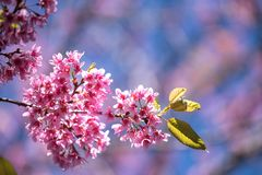 flowerwith blue sky in spring atThailand royalty free stock photos