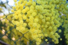 Flowery κίτρινες εγκαταστάσεις mimosa δώρο για την ημέρα των γυναικών ή την ημέρα της μητέρας ερχόμενη άνοιξη στοκ εικόνες