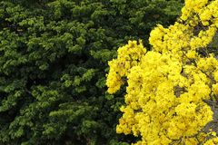 Flowery κίτρινο ipe δέντρο στα ξύλα Στοκ φωτογραφία με δικαίωμα ελεύθερης χρήσης